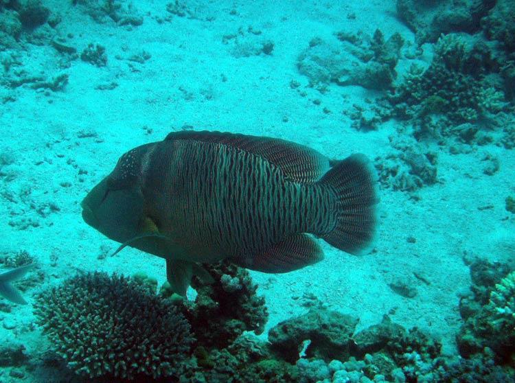 Napoleonfisk ved The Islands