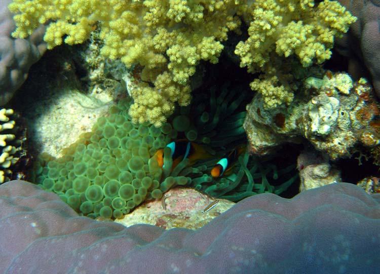Klovnfisk ved The Islands i Dahab