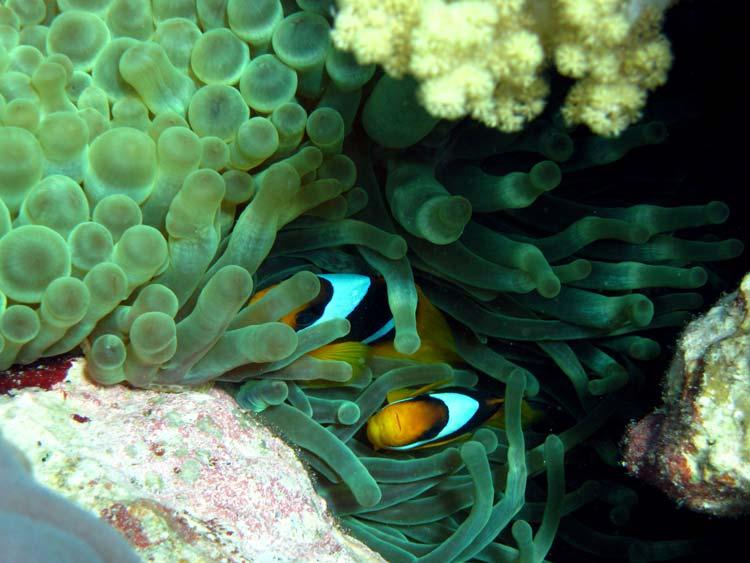 Klovnfisk i søanemone ved The Islands