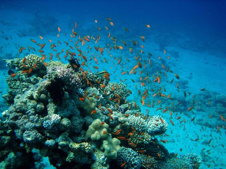 Koraller og fisk ved Amaied