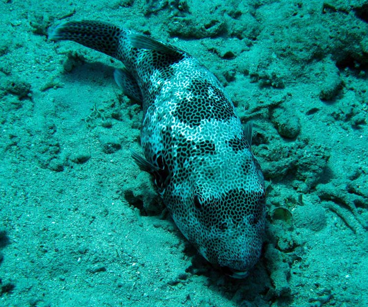 Kæmpe kuglefisk ved A'Maied