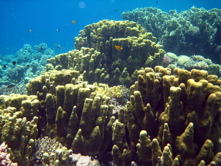 Koraller ved Ras Abu Galum