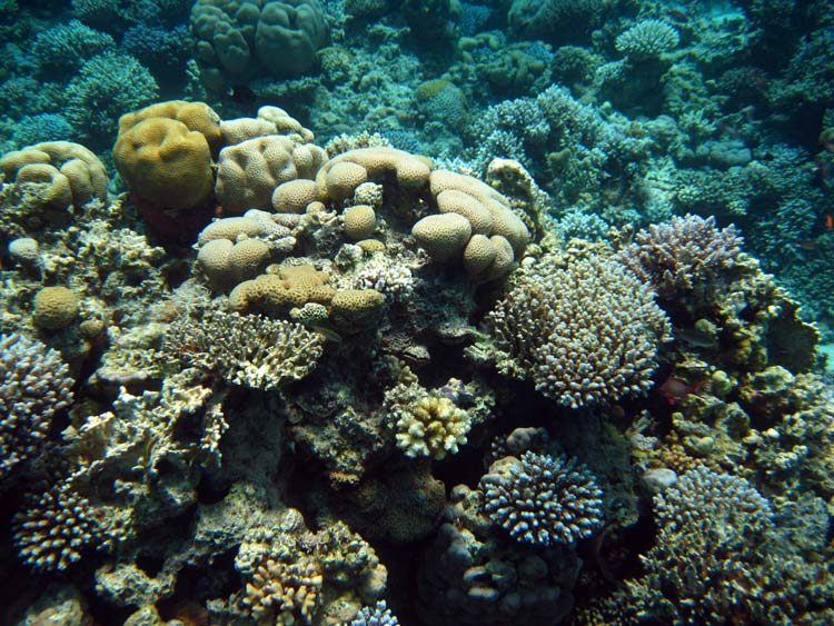 Koraller ved Abu Galum