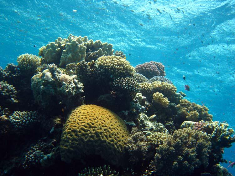 Flotte koraller ved Abu Galum