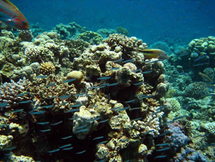 Koralrev og fisk ved Abu Galum