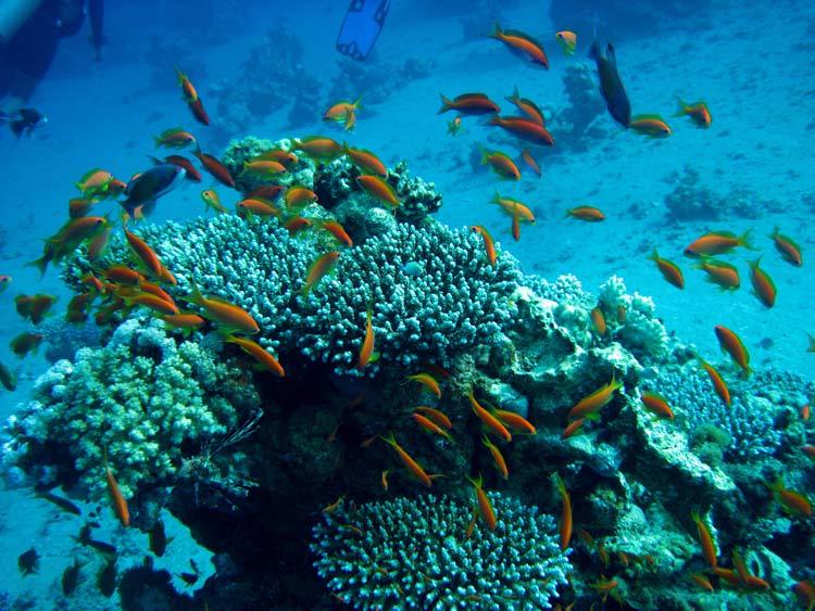 Koraller og fisk ved Ras Abu Galum