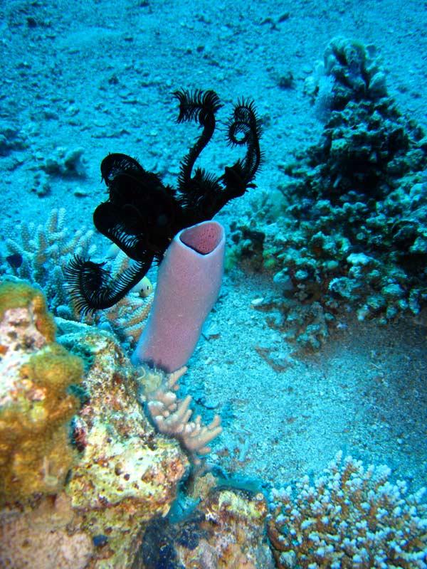 Tube koral og sølilje ved Big Stone