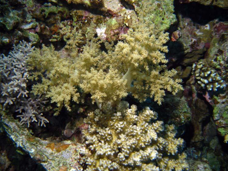 Koraller ved Eel Garden i Dahab