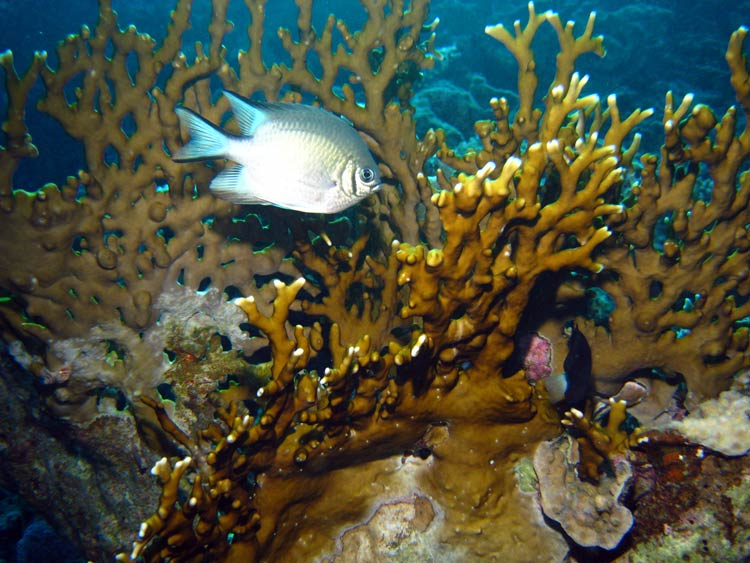 Fisk og ildkoral ved Eel Garden