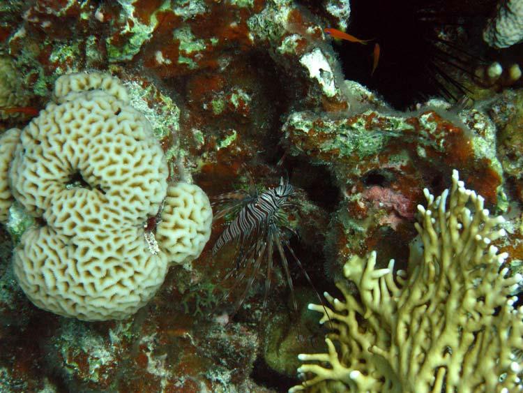Dragefisk blandt koraller ved Eel Garden