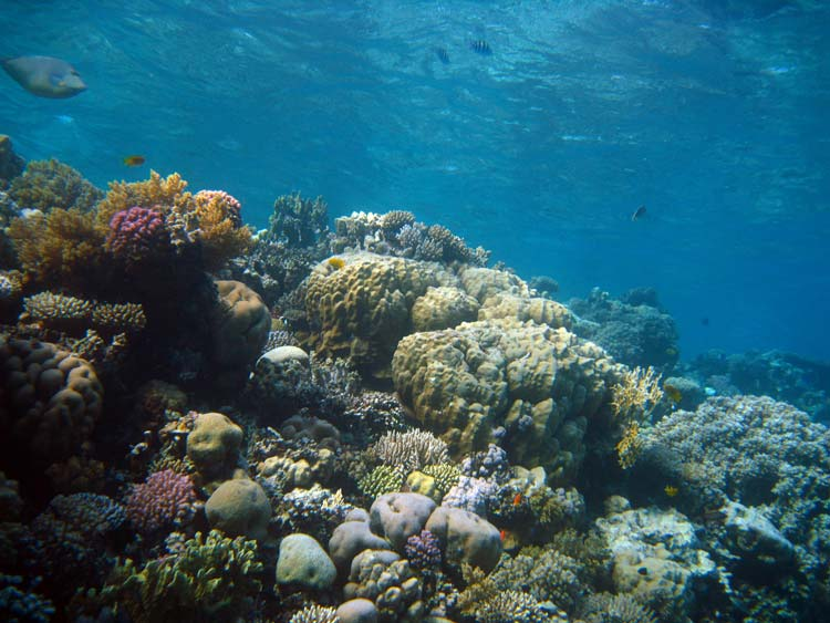 Flotte koraller ved Eel Garden