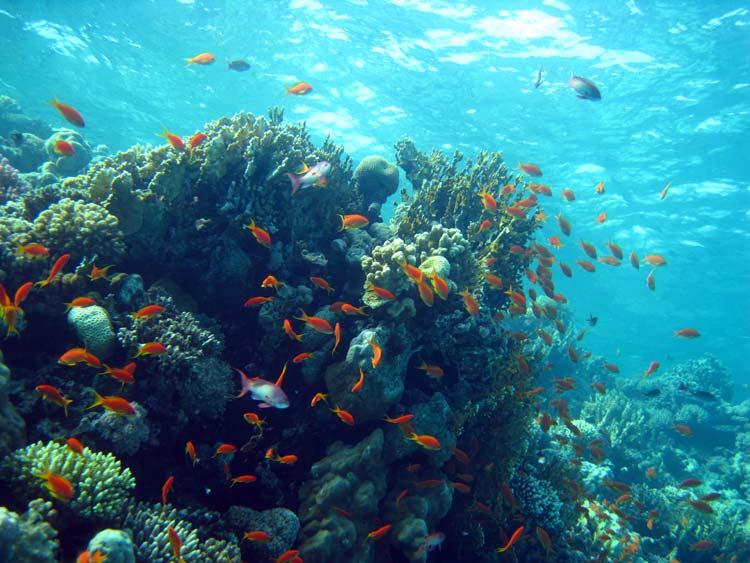 Koralrev ved Eel Garden i Dahab