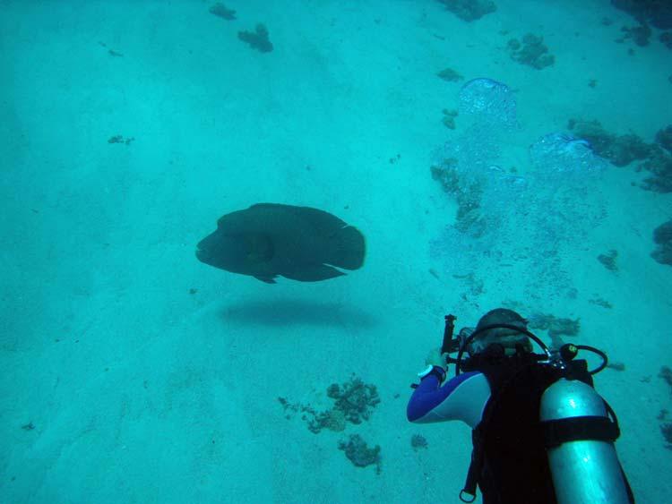 Napoleonfisk og dykker ved Umm Sid