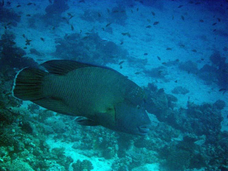 Stor napoleonsfisk ved Umm Sid