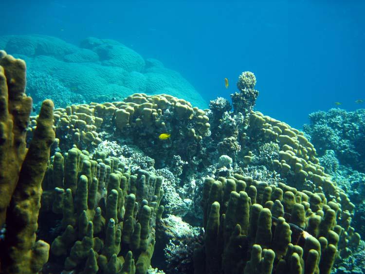 Koraller ved Abu Helal i Dahab