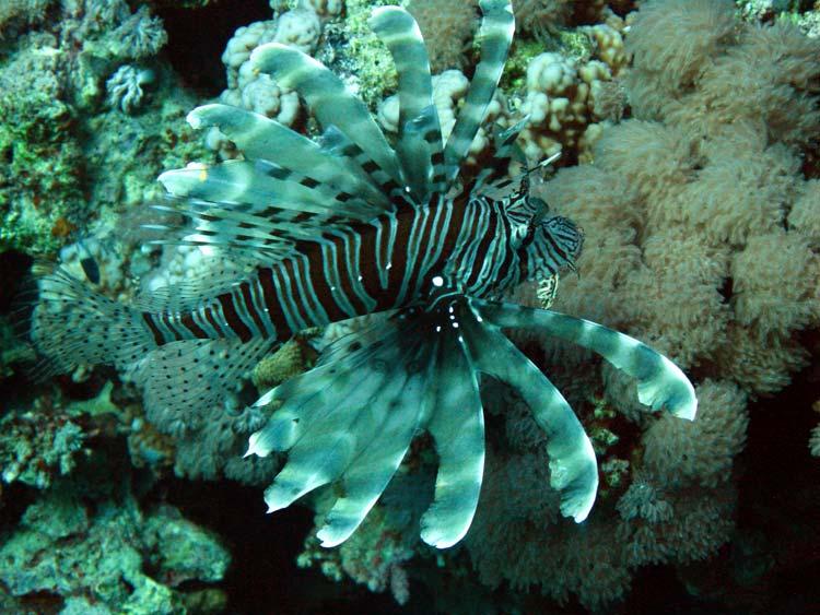 Dragefisk ved Blue Hole