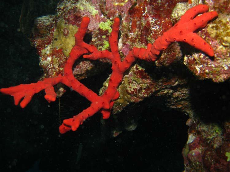 Rød svamp ved Canyon i Dahab