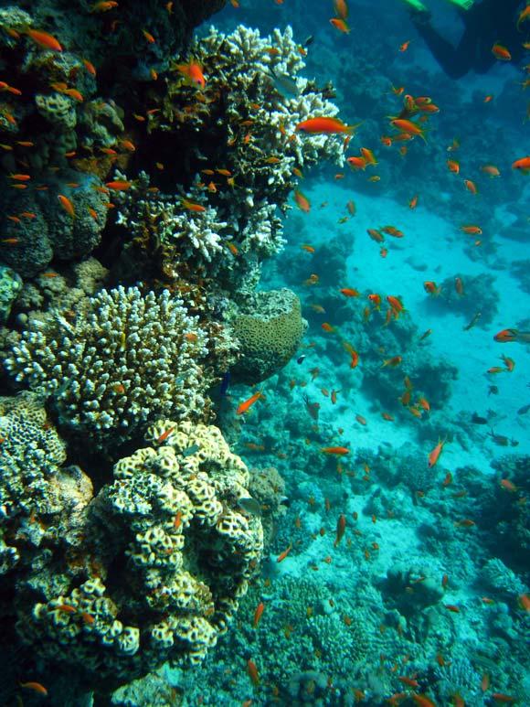 Fisk og koraller i Dahab