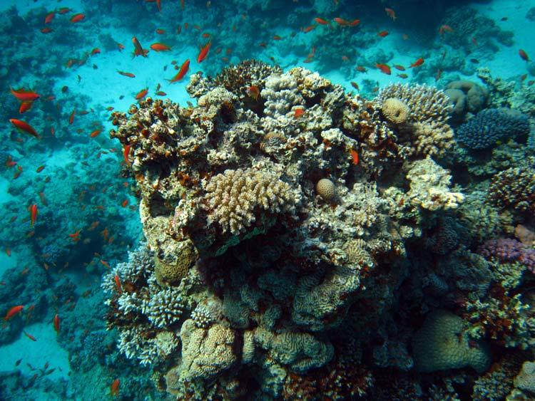 Koraller og fisk ved Canyon i Dahab