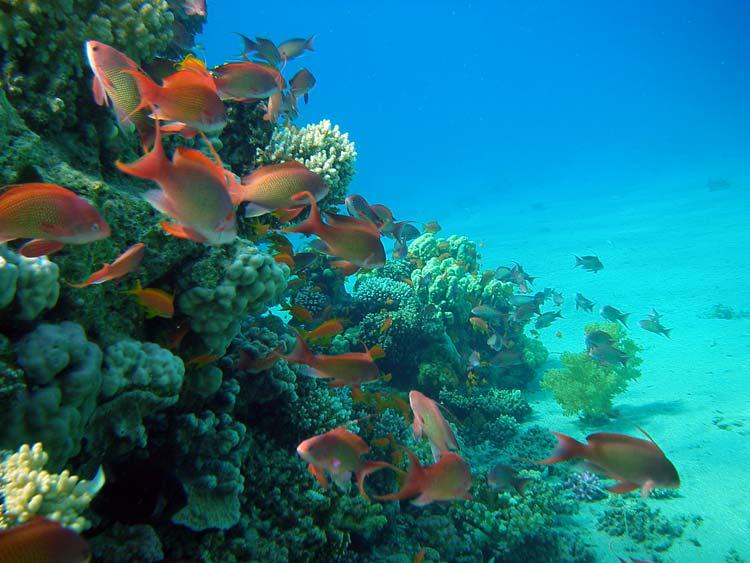Flot lille koralbjerg ved Amaied