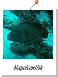Napoleonfisk ved Umm Sid