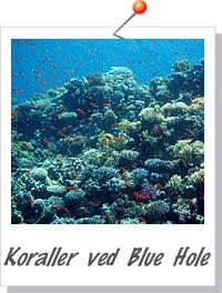 Koraller ved Blue Hole