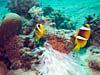 Klovnfisk ved Abu Ghusum