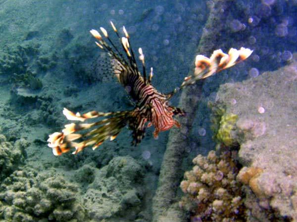 Dragefisk ved Marsa Nakari