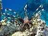 Dragefisk ved Marsa Alam