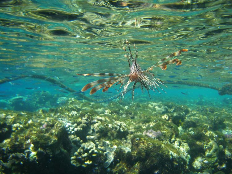 Dragefisk ved Sharm el Sheikh