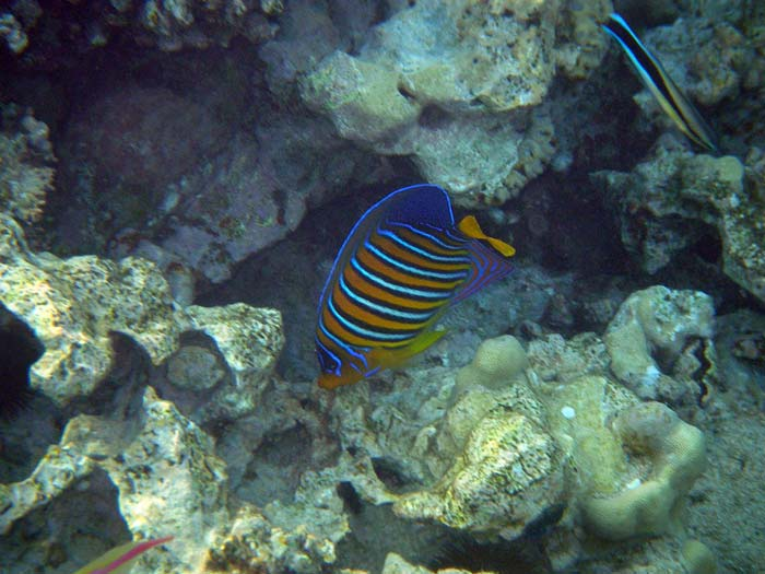 Royal Angelfish i Sharm el Sheikh