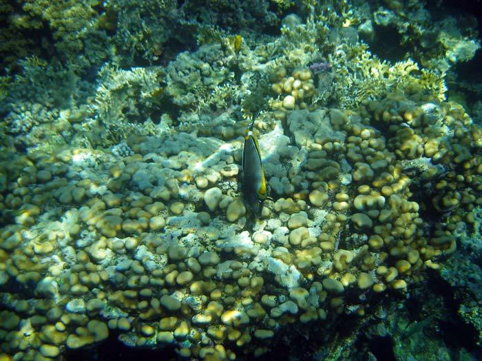 Flot fisk blandt korallerne i Sharm el Sheikh