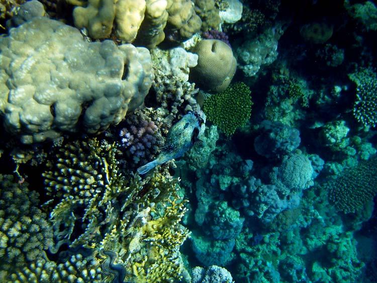 Kuglefisk i koralrevet i Sharm el Sheikh