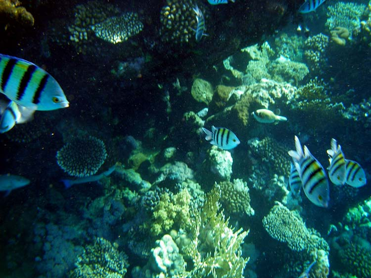 Fisk og koraller i Sharm el Sheikh