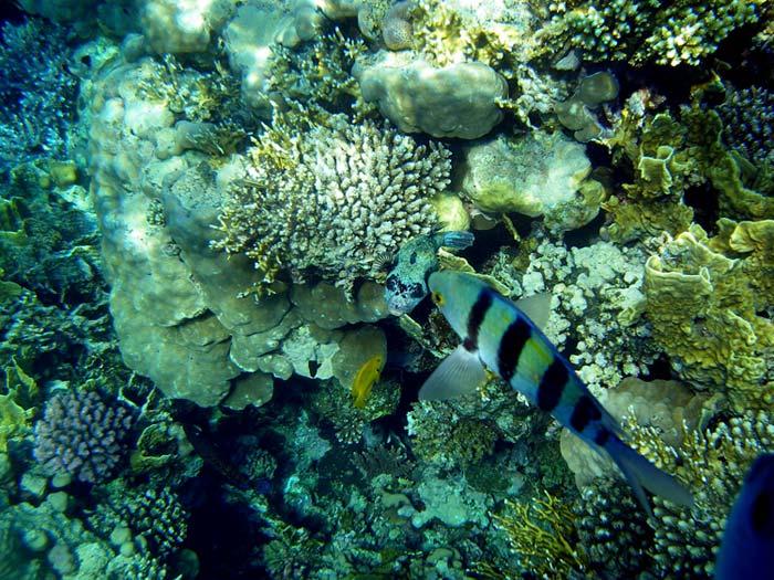 Kuglefisk og Oversergeantfisk i Sharm el Sheikh