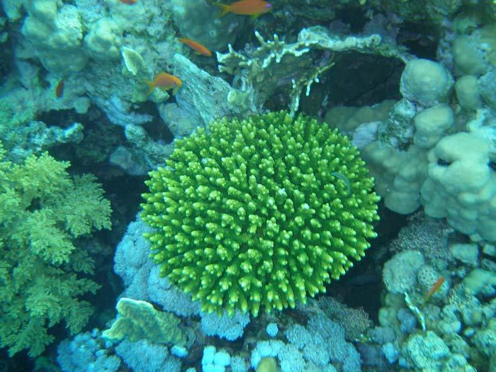 Flot grøn koral i Sharm el Sheikh