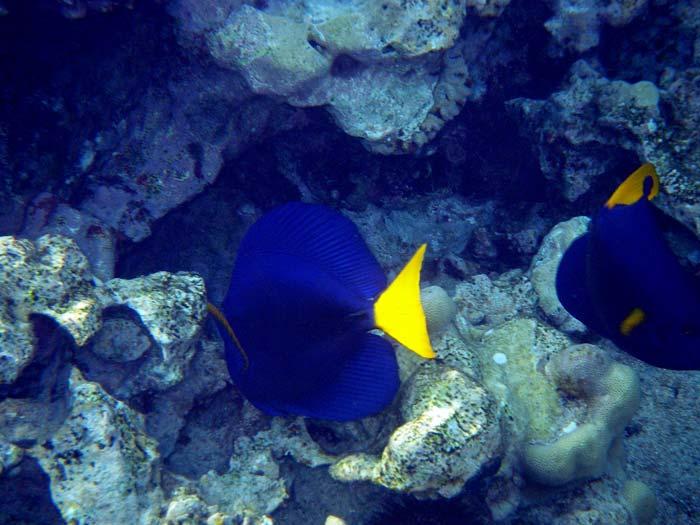 Kejserkirurgfisk i Sharm el Sheikh