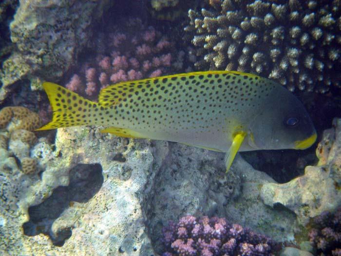 Østafrikansk gryntefisk i Sharm el Sheikh