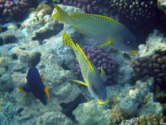 To østafrikanske gryntefisk og en kejserkirurgfisk