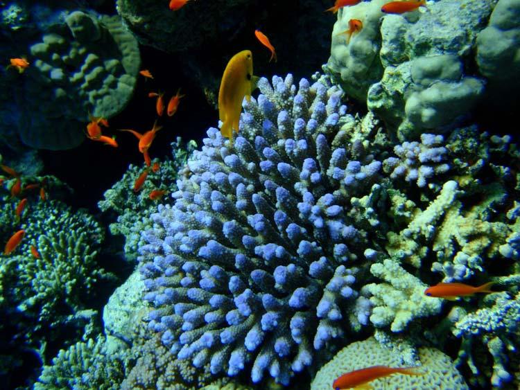 Flot blå acropora koral i Sharm el Sheikh