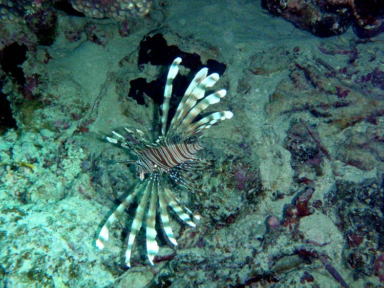 Dragefisk i Sharm el Sheikh