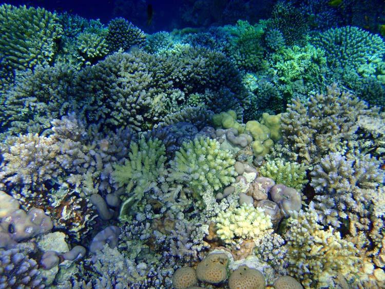 Flotte koraller i Sharm el Sheikh