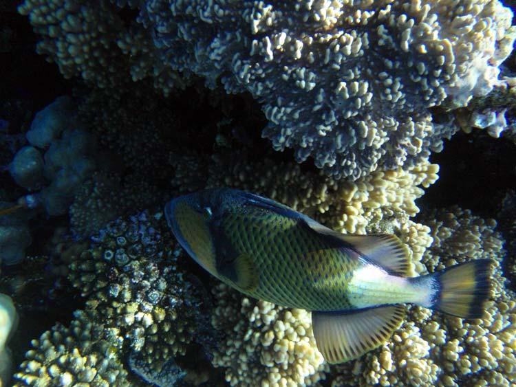 Stor aftrækkerfisk i Sharm el Sheikh