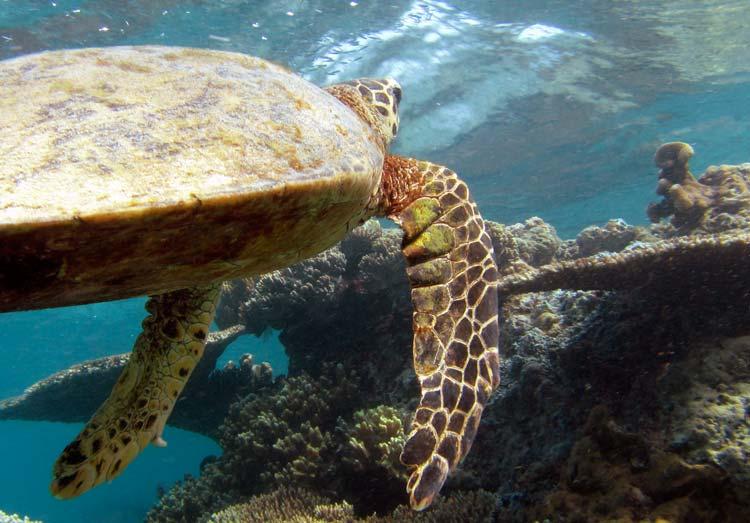 Havskildpadde ved Malapascua Island