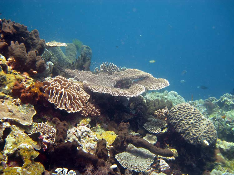 Koralrev ved Wakatobi