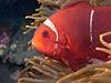 Klovnfisk ved Bali