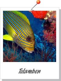 Kæmpe stime fisk ved Tulamben, Bali