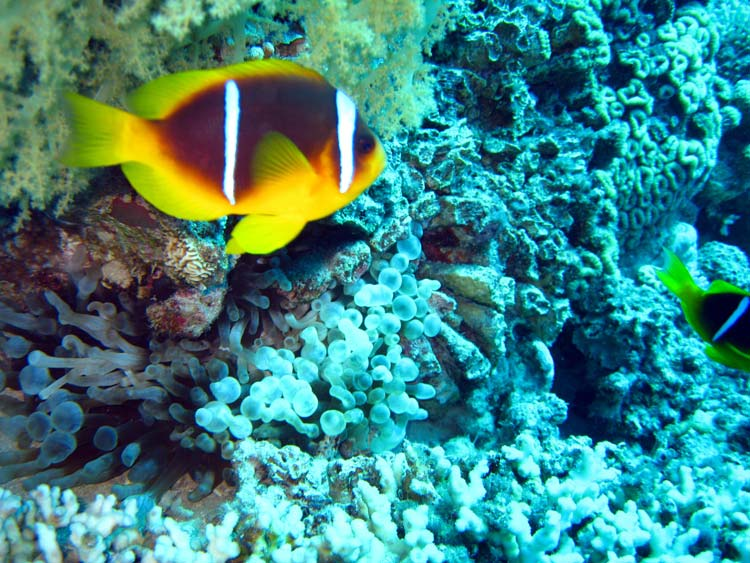 Klovnfisk ved Rainbow Reef i Aqaba