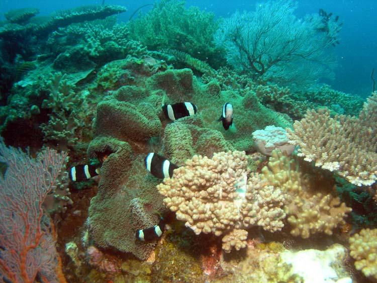 Klovnfisk ved Tioman Island