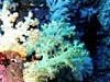 Blødkoraller ved Sipadan Island